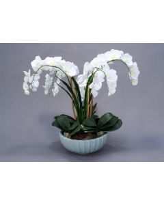 White Phaleanosis Orchid with Foliage in Round Blue Bowl