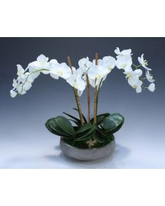 Cream White Phalaenopsis Orchid in Concrete Planter