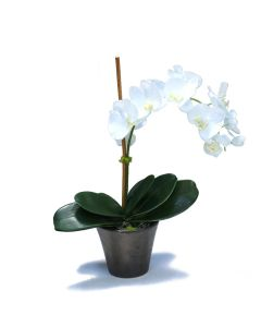 Cream White Phalaenopsis Orchid in Bronze Earthenware Pot