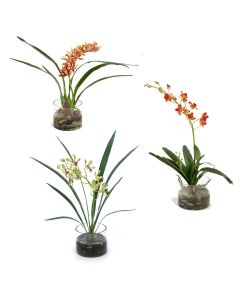 Assorted Orchid Plants, Each in Glass Cylinder (Set of 3)