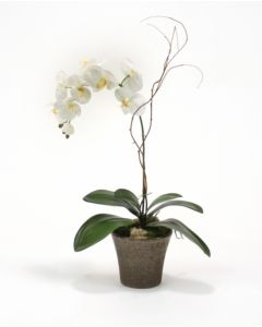 Cream-White Phalaenopsis Orchid Plant in Bronze Orchid Pot (Sold in Multiples of 2)