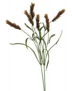 Pennisetum in Med Brown