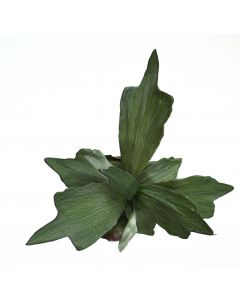 "22"" Stag Horn Fern Plant (Sold in Multiples of 6)"