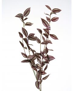 Wandering Jew in Variegated Green and Burgundy (Sold in Multiples of 12)
