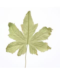 Maple Leaf Pick in Muted Green (Sold in Multiples of 288)
