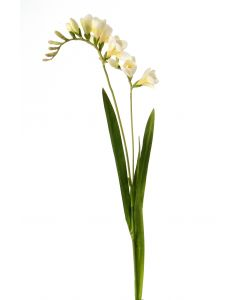 """30"""" Freesia Stem (Sold in Multiples of 12)"""