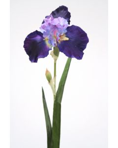German Irisblue Violet (Sold in Multiples of 12)
