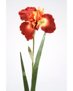 German Iris in Rust Gold (Sold in Multiples of 12)