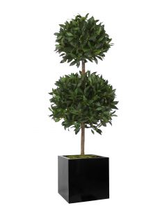 5' Sweet Bay Tree in Black Block