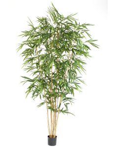 9' Bamboo Tree in Black Plastic Nursery Liner