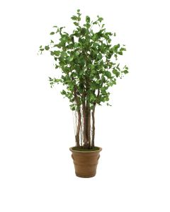 7.5' Elm Tree in Tuscan Brown Terra Cotta Patio Pot