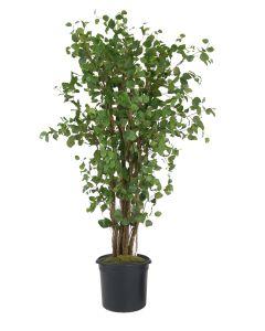 9' Elm Tree in Liner