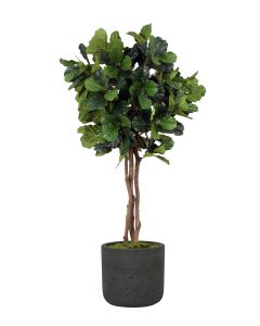 7' Fiddle Leaf in Black Wash Charlie Pot