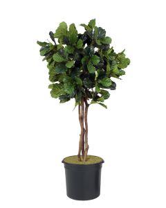 7' Fiddle Leaf Fig Tree in Liner