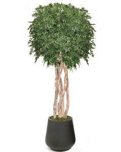 10' Ruscus Tree in Black Fiberstone Planter