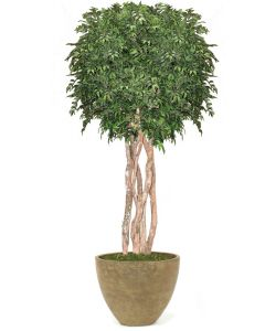 10' Ruscus Tree in White-Gray Washed Oval Tapered Concrete Container