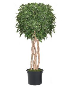 10' Ruscus Tree In Liner