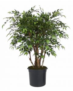 4' Ruscus Tree in Black Plastic Nursery Liner