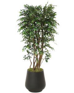 6' Ruscus Tree in Black Fiberstone Planter