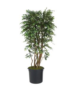 6' Ruscus Tree in Liner