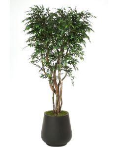 7' Ruscus Tree in Black Fiberstone Planter