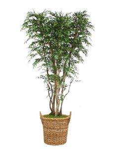 8' Ruscus Tree On Gnarly Trunks in Round Core Rattan Basket with Handles