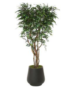 8' Ruscus Tree in Black Fiberstone Planter