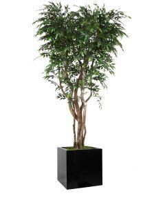 8' Ruscus Tree in Block Planter