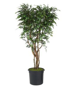 "8' Ruscus Tree On Gnarly Trunks in 16"" Black Plastic Nursery Liner"