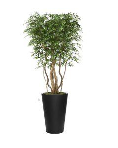 9' Ruscus Tree in Black Belle Planter