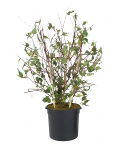 5.5 Birch Tree in Plastic Liner