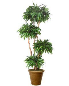 8' Layered Mango in Tree Tuscan Brown Terracotta Patio Pot