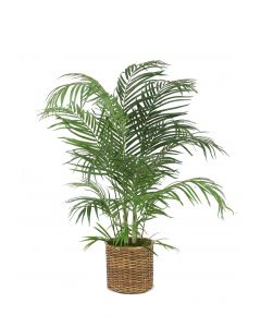 4' Areca Palm in Small Stained Split Rattan Basket