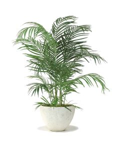 4' Areca Palm in White Gray Wash Oval Tapered Concrete Planter