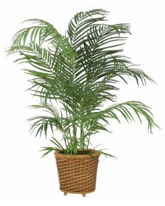 4' Areca Palm in Oval Wicker Basket