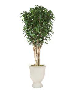 11' Deluxe Ficus Tree in White Concrete Planter