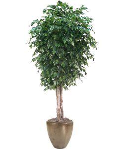 11' Deluxe Ficus Tree in Large Metallic Bronze Stoneware Pot