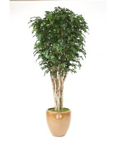 11' Deluxe Ficus Tree in Large Stoneware Pot