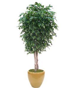 11' Deluxe Ficus Tree in Dark Sand Glazed Stoneware Planter