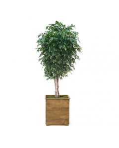 11' Deluxe Ficus Tree in Sqare Stained Wood Planter