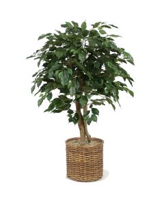 4' Ficus Tree in Stained Split-Rattan Basket
