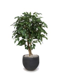 4' Ficus Tree in Black Orb Stone Planter