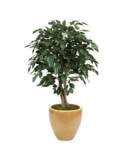 4' Ficus Tree in Glazed Sand Stoneware Pot