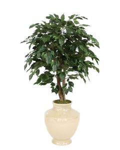 4' Ficus Tree in Shellish Sand Earthenware Planter