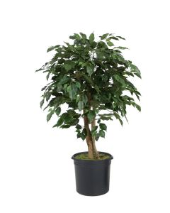 4' Ficus Tree in Black Plastic Nursery Liner