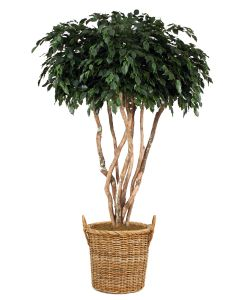 8' Canopy Ficus Tree in Stained Round Core Rattan Basket