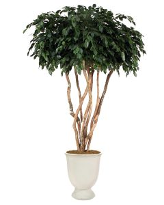 8' Canopy Ficus Tree in White Concrete Urn