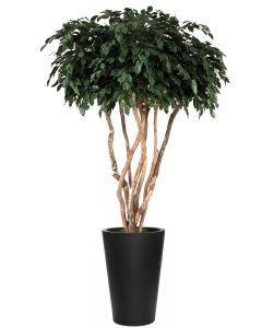8' Canopy Ficus Tree in Tall Black Fiberstone Planter