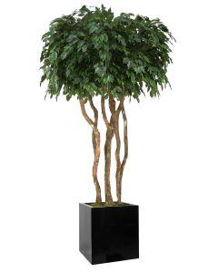 8' Canopy Ficus in Block Planter
