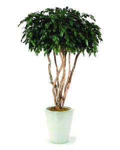 8' Canopy Ficus in Glazed White Stoneware Planter